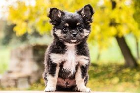 Chihuahua, Puppy Dog outdoor
