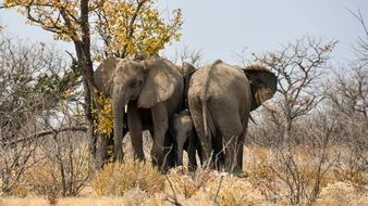 elephant family in the national park in Namibia