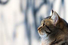 photo profile of a domestic tabby cat