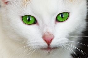 white kitten with bright green eyes close up