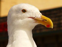 White seagull race portrait