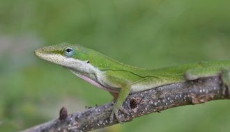 Anole or Green lizard