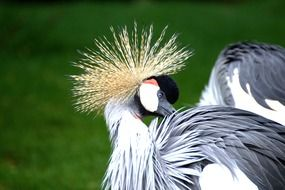 Grey Crowned Crane bird