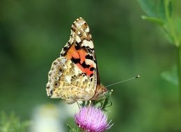 colorful butterfly sitting on a thistle