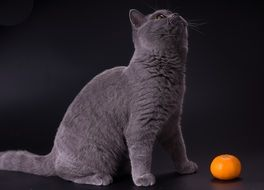 gray british cat and orange mandarin