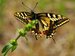 swallowtail butterfly close up