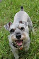 wonderful and beautiful Miniature Schnauzer