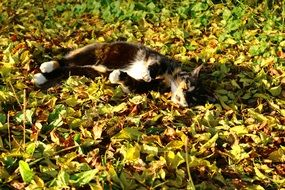 lucky cat lying in the fall foliage