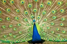 Peacock with colorful feathers