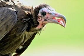 portrait of a vulture on a sunny day
