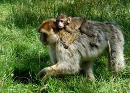 Monkey family Back Ride wildlife portrait