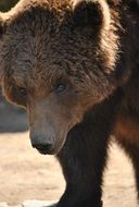 brown bear close-up portrait