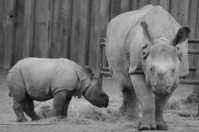 baby rhinoceros with mother
