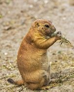 exceptional Prairie Dog