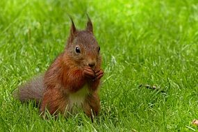photo of squirrel on the lawn