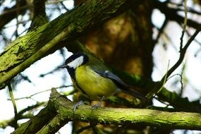 Great Tit in spring