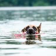 Malinois Dog in a water