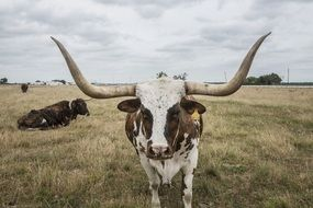 cow with big horns in the pasture
