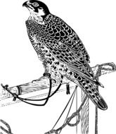 drawing of a perched falcon