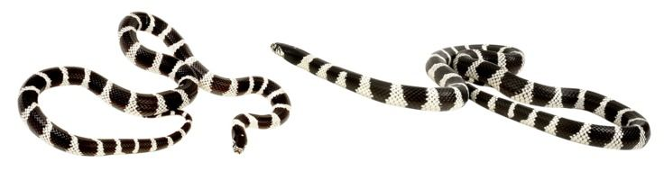two striped snakes