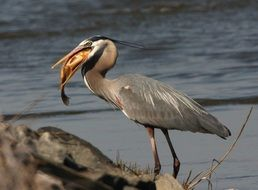 Beautiful great blue heron in wildlife