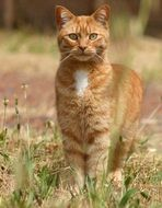 ginger cat on a green meadow