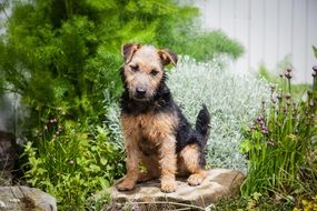 Lakeland Terrier on a pillow near the fence