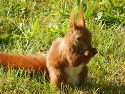 furry red squirrel