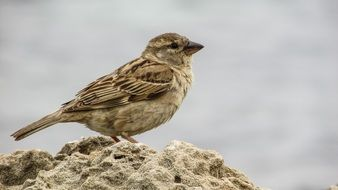 Sparrow is sitting on a stone