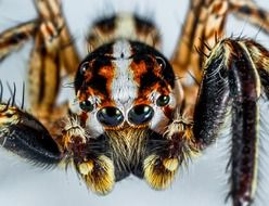 gorgeous beauty Jumping Spider macro