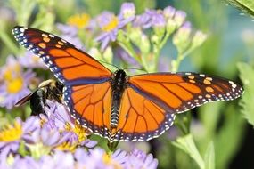 orange butterfly on a purple meadow flower