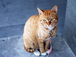 ginger cat on a leash