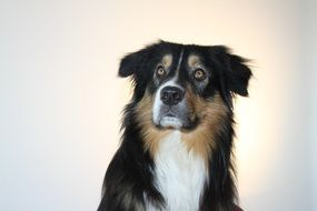 australian shepherd on white background