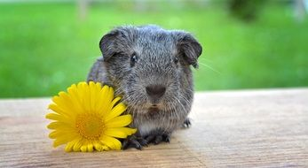 beautiful silver guinea pig