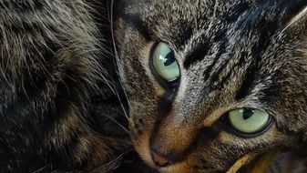 tabby cat with green eyes carefully looks