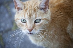 red cat with long whiskers