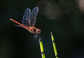 Dragonfly Halm Insect Wing macro photo
