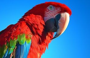 red big parrot close up