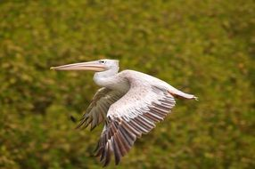 pelican flies over a green field