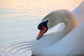 white mute swan on the lake
