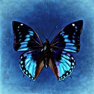 Blue black Butterfly on blue wall