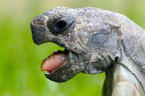 giant Turtle head with open mouth close up