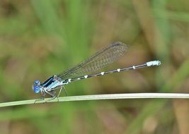 blue dragonfly on a green blade of grass