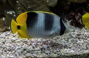 striped yellow fish in aquarium