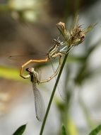 mating dagonflies in wildlife
