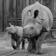 mother rhinocero with baby