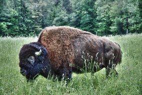 photo of a bison on a forest meadow