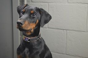 Doberman Dog animal cute portrait
