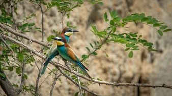two perched european bee-eaters