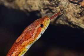 Corn Snake Snake Yellow Skin